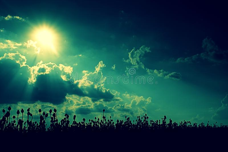 Aftonfältet av vallmo heads, solnedgången över Torra blommor väntar plockningen arkivfoto