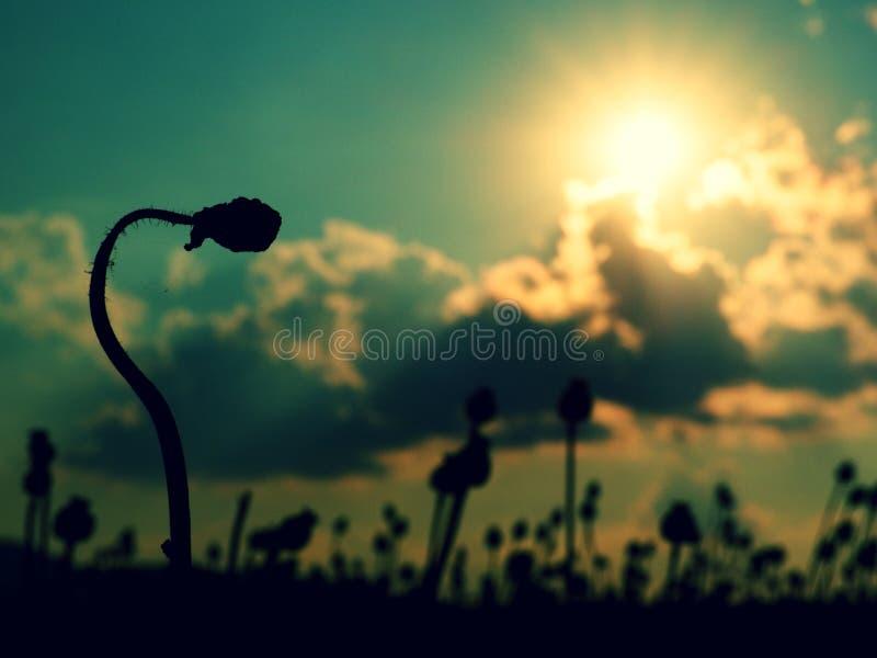 Aftonfältet av vallmo heads, solnedgången över Torra blommor väntar plockningen arkivbilder