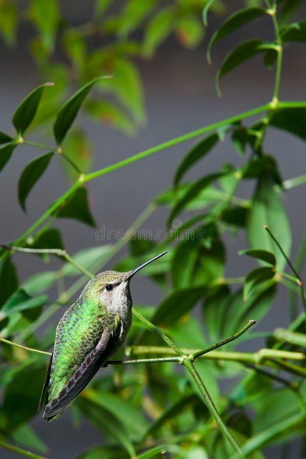 aftonhummingbird arkivfoton