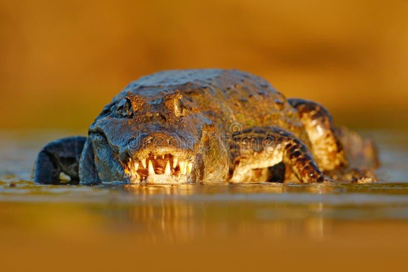 Aftonljus med krokodilen Ståenden av den Yacare kajmannen, krokodil i vattnet med öppet tystar ned, stora tänder, Pantanal, Brasi arkivbilder