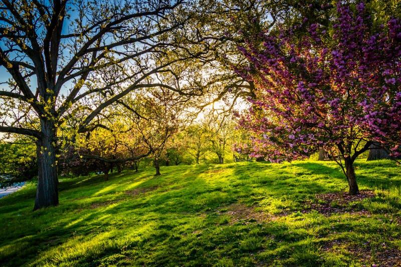 Aftonljus på färgrika träd i druidkulle parkerar, Baltimore, M royaltyfri fotografi
