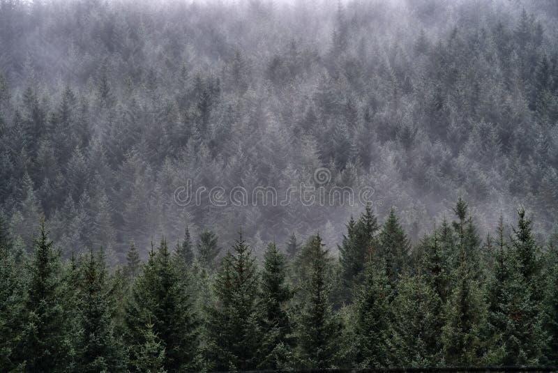Aftonmistnedgångar över en backeskog av Scots sörjer träd, Glencoe, Skottland royaltyfria foton