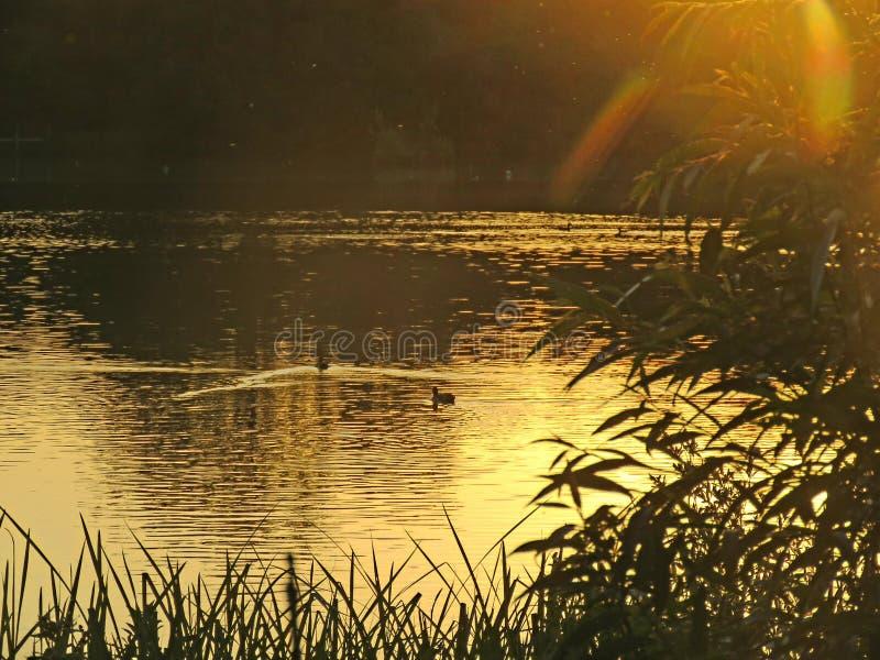 Aftonsolnedgång över Hatfield skog sjön som ser den guld- solen arkivfoto