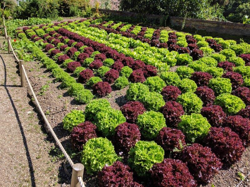 Afwisselende gekleurde die sla in plantaardige bedden wordt gekweekt stock foto