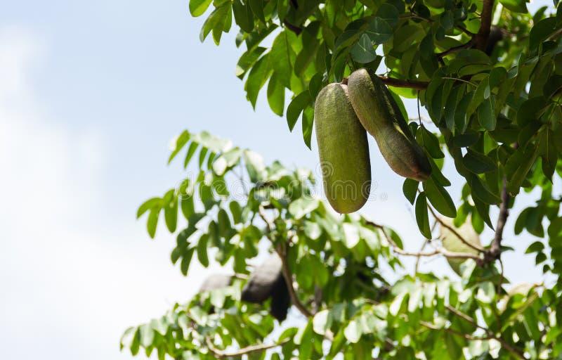 Afzelia-xylocarpa Hülse und Samen auf dem Baum stockfotografie