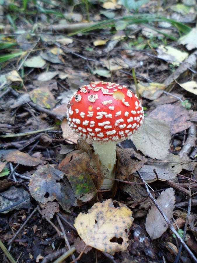 Agárico, seta, otoño, bosque fotografía de archivo