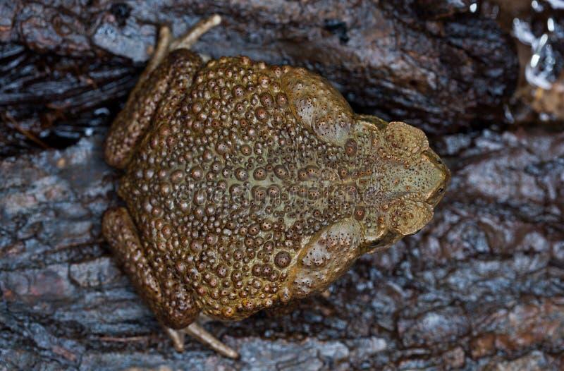 Aga del sapo en un primer del hábitat natural imágenes de archivo libres de regalías