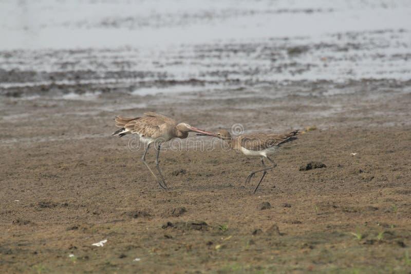 Agachadiza Bar-tailed carece la ala-barra, ha barrado la cola y fotografía de archivo