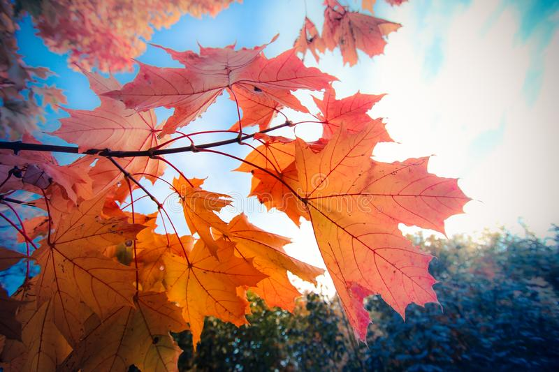 Against the backdrop of a bright autumn sky, a maple branch with bright orange leaves, a forest is still visible with greenery in royalty free stock photos