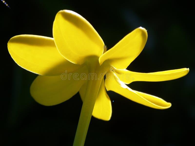 Againts gialli del fiore l'indicatore luminoso del sole. immagini stock libere da diritti