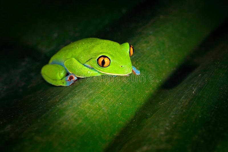 Agalychnis annae, Golden-eyed Tree Frog, green and blue frog on leave, Costa Rica. Wildlife scene from tropical jungle. Forest amp royalty free stock photos