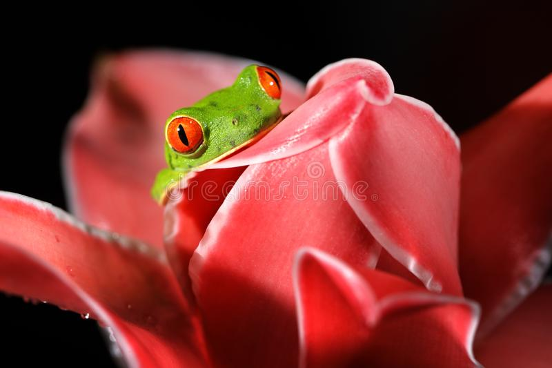 Agalychnis callidryas, Red-eyed Tree Frog, animal with big red eyes, in nature habitat, Costa Rica. Beautiful amphibian in the nig. Ht forest, exotic animal from royalty free stock images