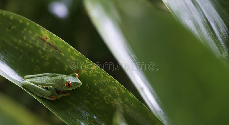 Agalychnis Callidryas, rojo observó la rana arbórea foto de archivo