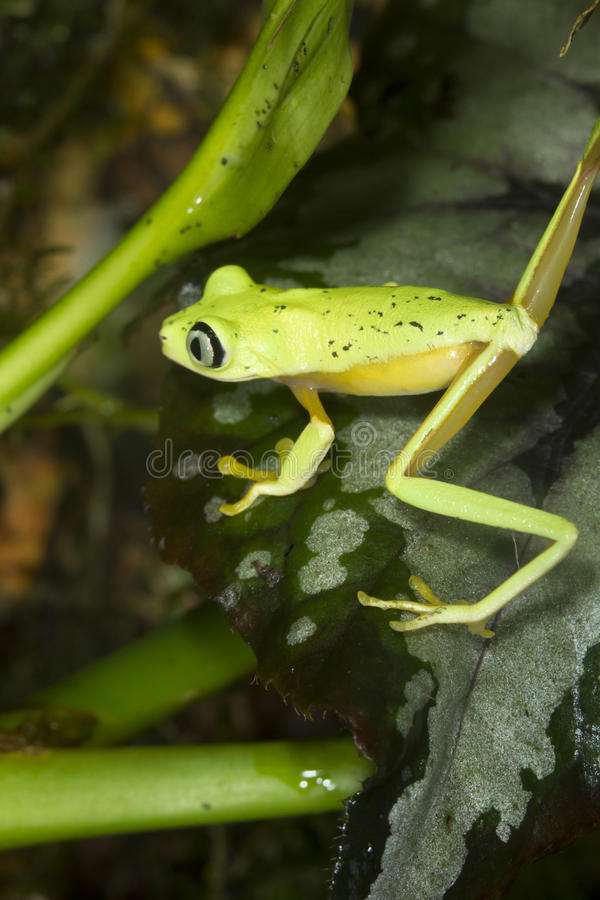 Lemur leaf frog (Agalychnis [Hylomantis] lemur) stock photos