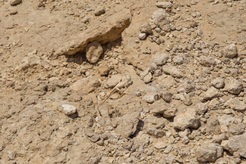 Agamá de Sinai fotos de stock