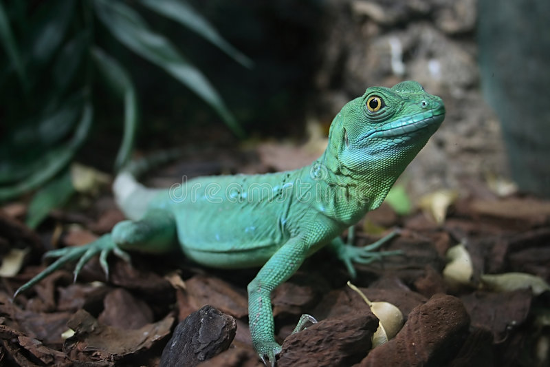 Agama. Reptile green agama in terrarium royalty free stock image