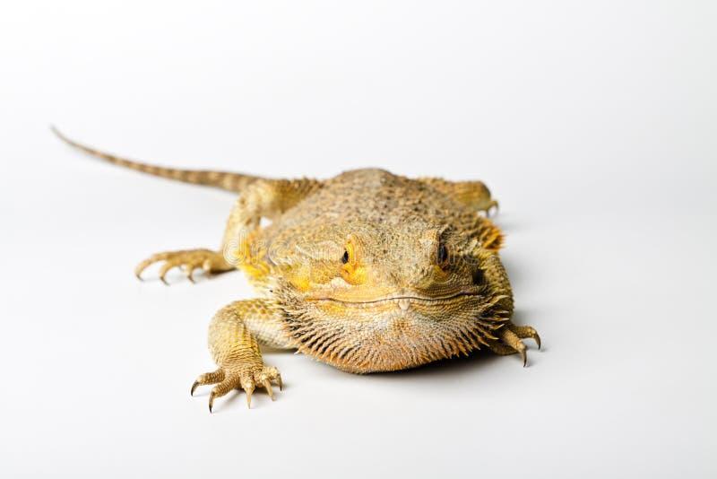 Agama Brodaty smok na jaskrawym zdjęcia stock