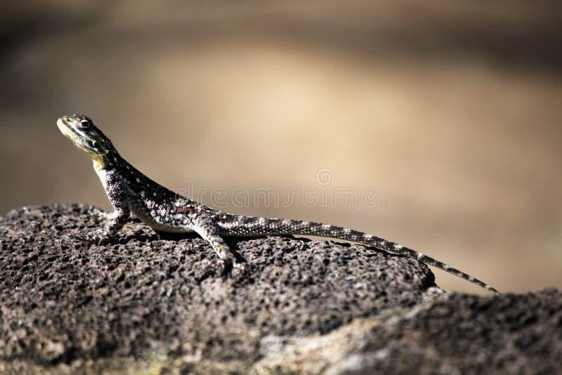 Agama común, Kenia imagen de archivo