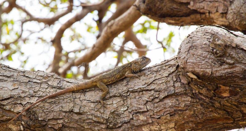 agama dalla testa blu che riposa su un albero immagine stock