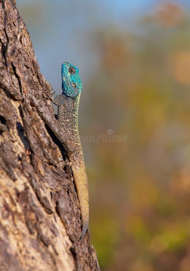Agama del sud della roccia (atra dell'agama) fotografia stock libera da diritti