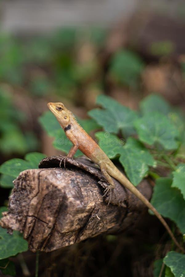 Agama di Brown sul ceppo e sulle foglie fotografia stock