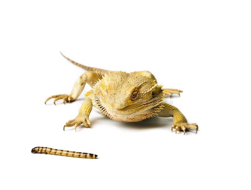 Agama Gebaarde die draak en worm op witte achtergrond wordt geïsoleerd royalty-vrije stock foto