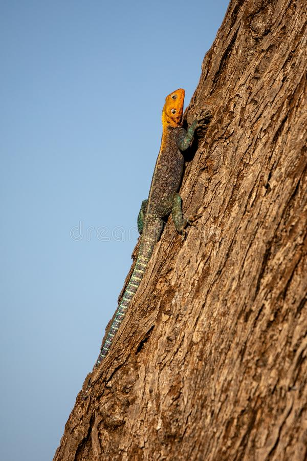 Agama Lizard, Kenya, Africa stock photo
