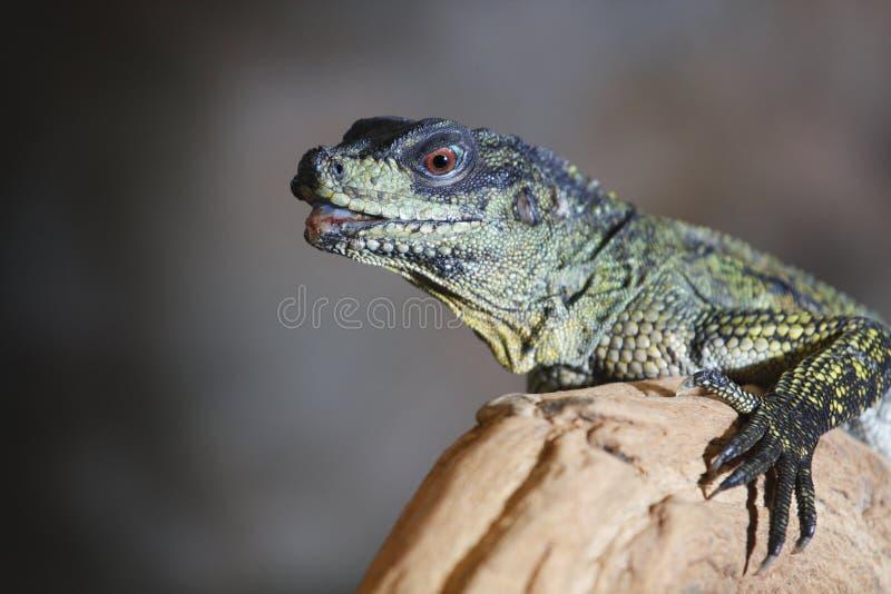 Download Agama stock image. Image of looking, dragon, close, komodo - 30764689