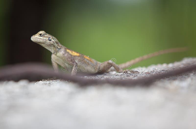 Agama lizard Nigeria. Agama lizard laying on a rock in Nigeria royalty free stock photos