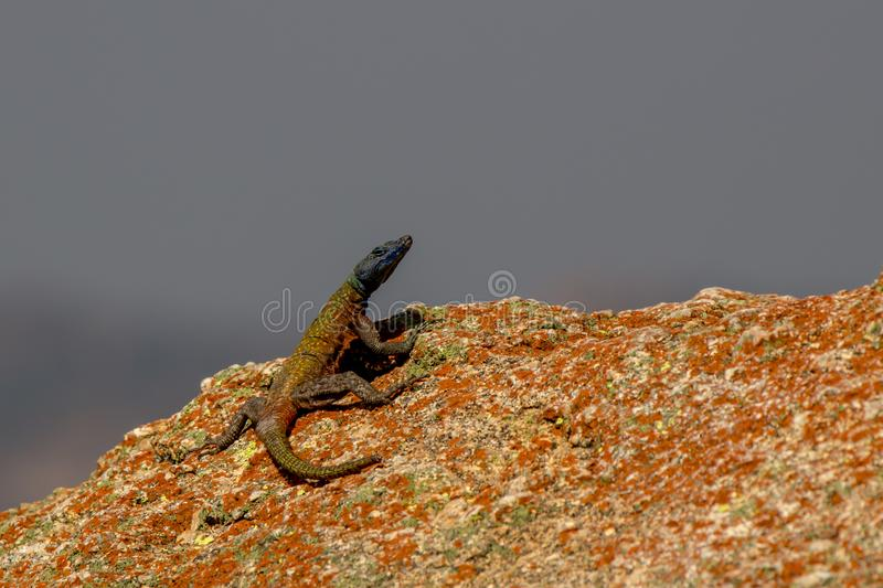 Agama lizzard almost posing for picture, Rhodes grave, Matopos, royalty free stock images