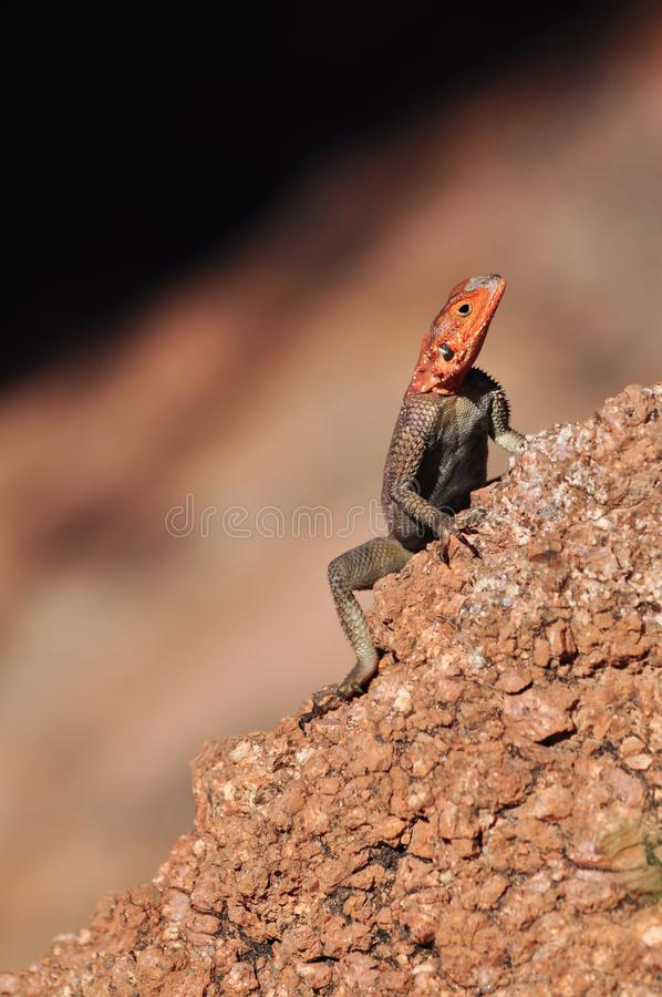 Agamaagama - röd-hövdad lizzard i Afrika royaltyfri bild