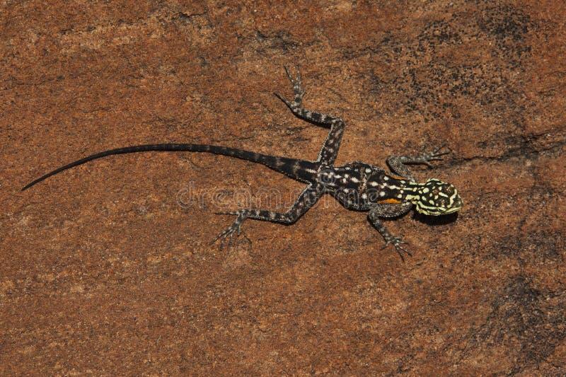 agamanamibia namibian rock royaltyfria foton