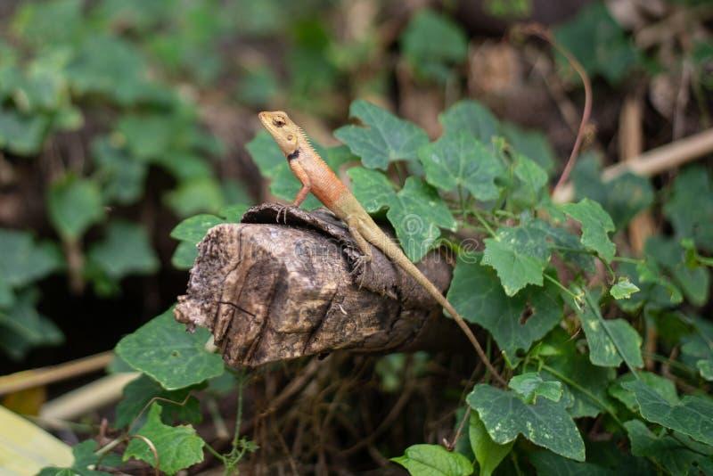 Agame de Brown sur le rondin et les feuilles photo stock