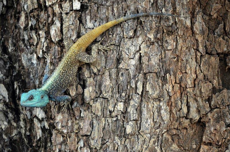 Agame dirigé bleu d'arbre (Acanthocercus Atricollis) photo libre de droits