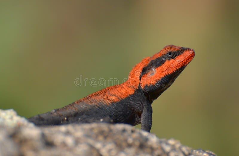 Agame péninsulaire de roche/mâle indien du sud d'agame de roche (dorsalis de Psammophilus) photos libres de droits