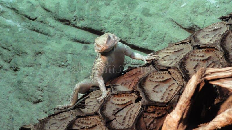 Agame, vitticeps pogona, маленький дракон стоковое фото rf