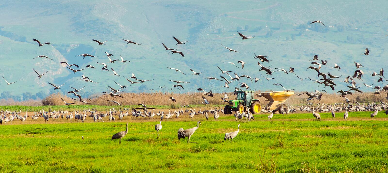 Agamon Hula Crane Feeding stockfoto