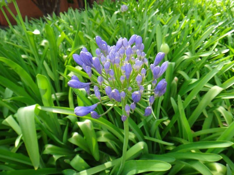 Agapant - rośliny i pączek zdjęcia royalty free