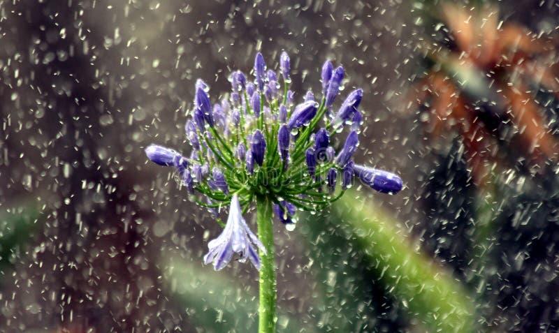 Agapanthas sous la pluie photo libre de droits
