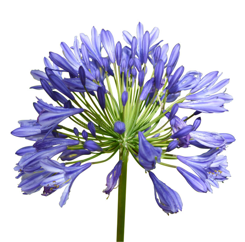 Agapanthus. Flower isolated in white stock photography