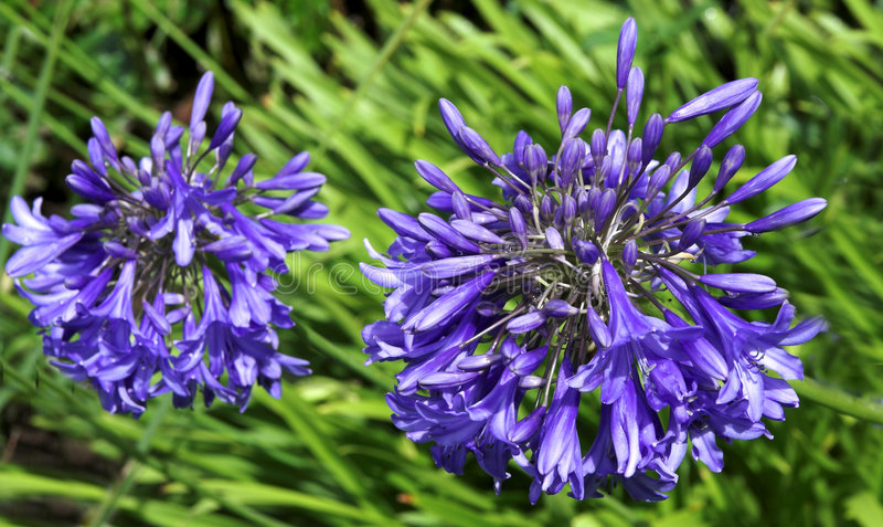 Agapanthus. Two heads of Agapanthus lilies against a network of their own foliage stock images