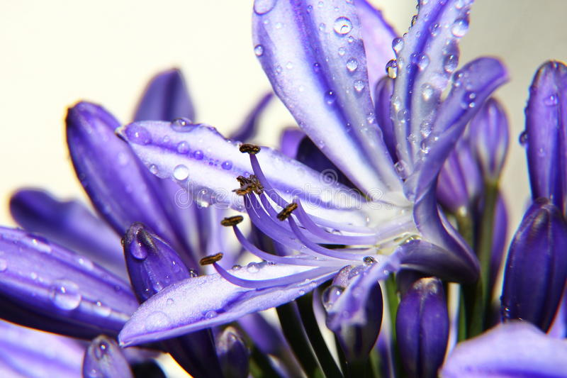 Agapanthus afriicanus. Agapanthus Blue afriicanus triumphant African lily jewelry stock image