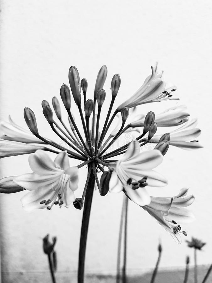 Agapanthus. Black and white agapanthus flower in bloom stock photos