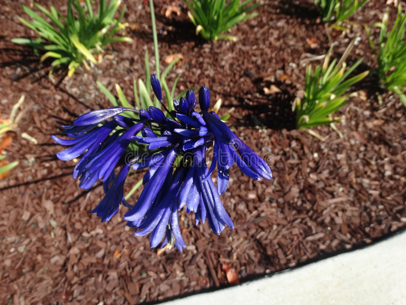 Agapanthus blauw viooltje royalty-vrije stock foto