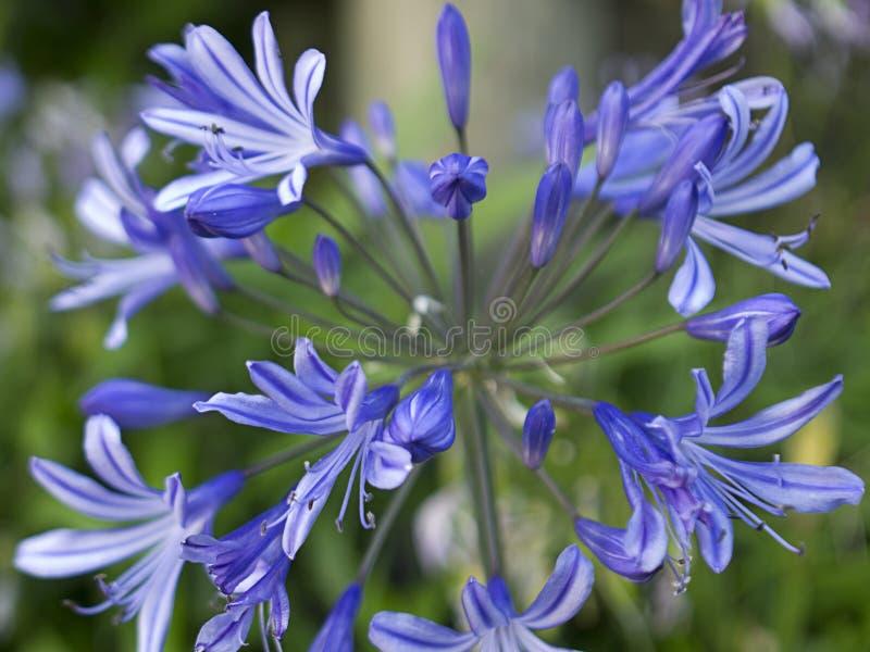 Agapanthus Blooms stock image