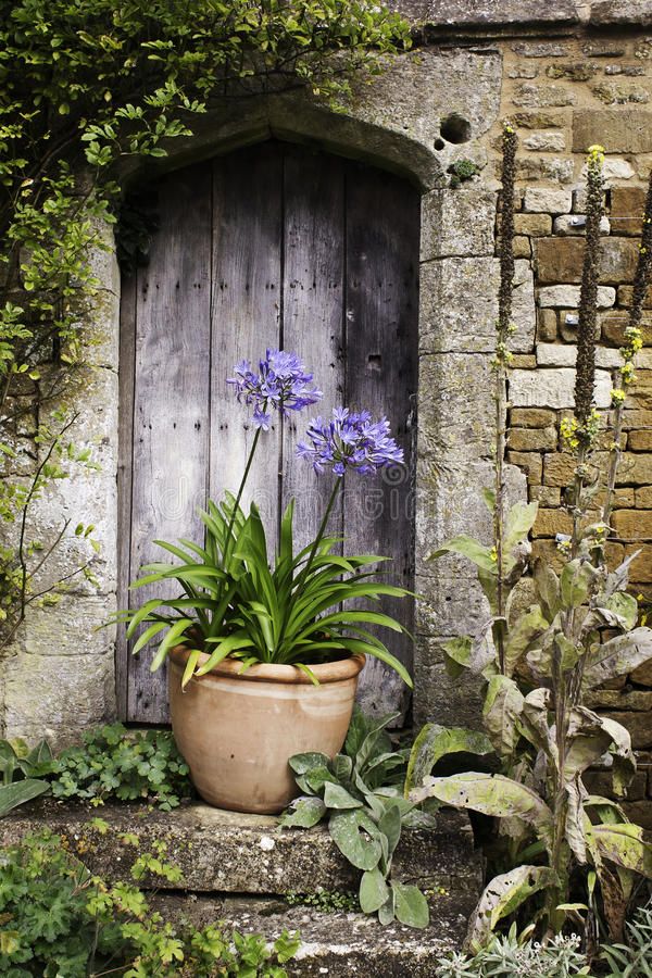 Agapanthus blue. Beautiful blue agapanthus against an old wooden door royalty free stock photos