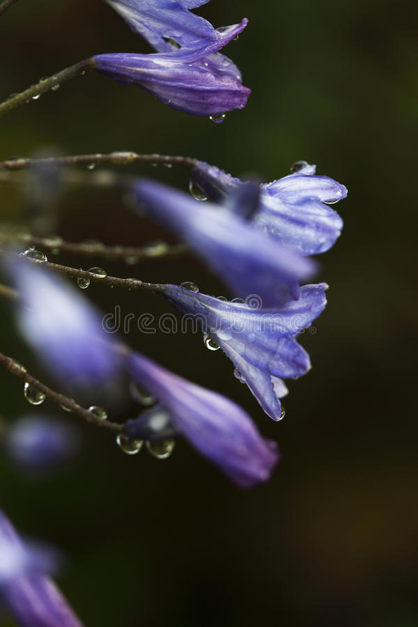 Agapanthus stock photos
