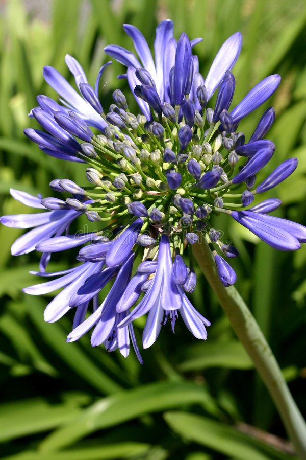 Agapanthus Flower. Close up of blue agapanthus flower stock images