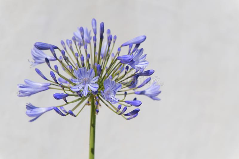 Agapanthus flower in blue. Head of blue agapanthus against white wass stock image