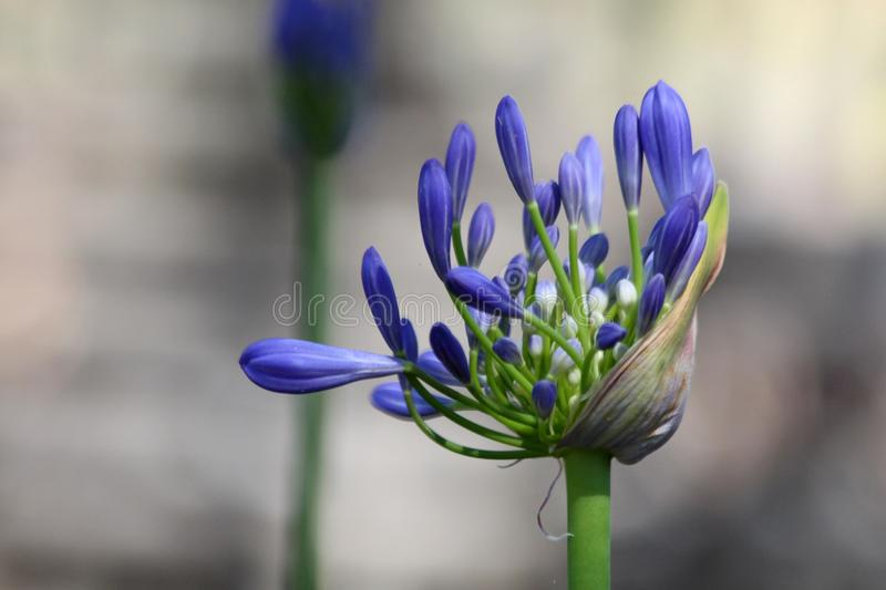 Agapanthus Flower. The commonly grown agapanthus flower, often called Lily of the Nile, was introduced to Australia from South Africa. There are now more stock image